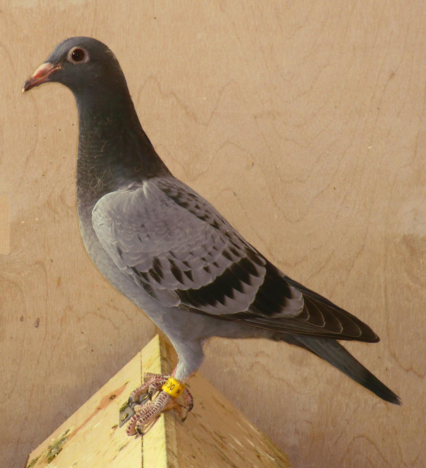 Young Bird Methods   Geoff Cooper Pigeons